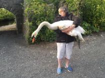 Manx Wild Bird Aid founder Barbara Cole Glassey rescuing a swan