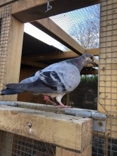 Feral pigeon entering soft-release aviary