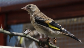 Hand-reared goldfinch in soft-release aviary