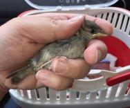Sparrow fledgling being put in carrier by Manx Wild Bird Aid volunteer