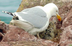 Herring gull brooding three young chicks in a nest