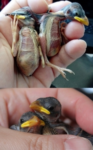 Severely dehydrated baby sparrows with wrinkled skin and sunken eyes