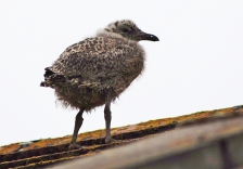 Gull chick standing on house roof