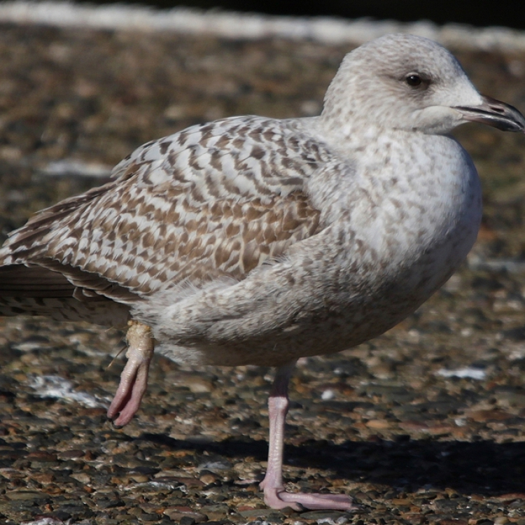 Bird with fishing line embedded in his leg
