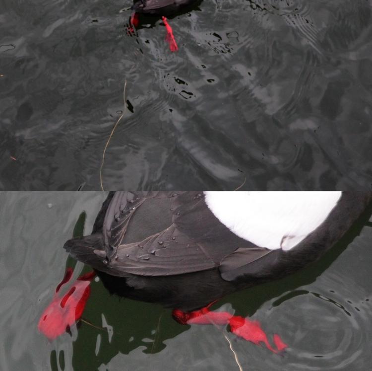 Black guillemot with plastic fishing line tangled around legs