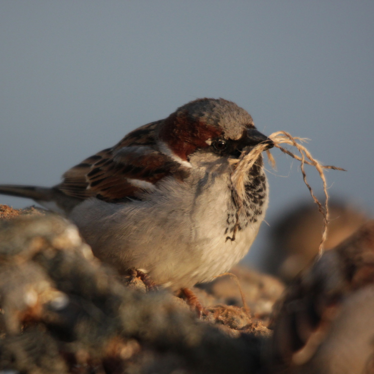Sparrow collecting string litter for his nest