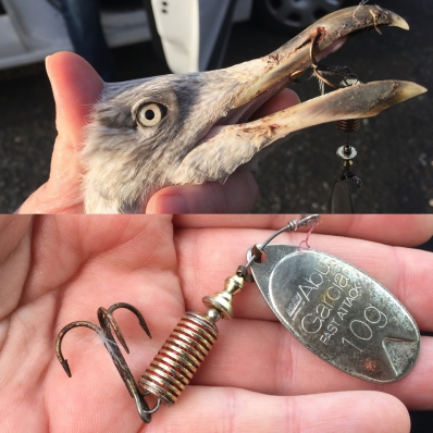 Bird with discarded fishing hook stuck up nostril